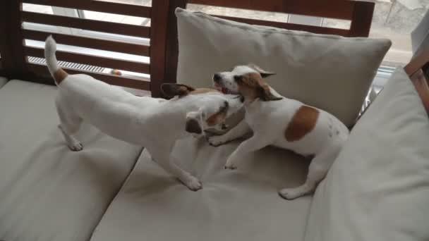 İki köpek evde oynamak