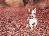 Dog running at autumn