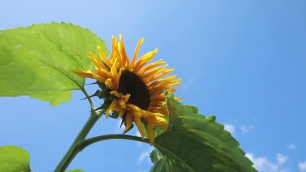 Slunečnice proti modré obloze. kvetoucí slunečnice a zatažené oblohy