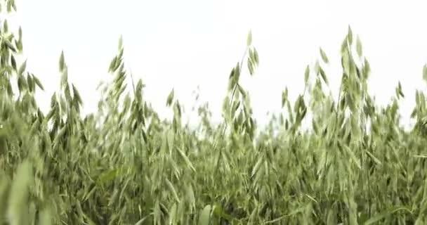semola de trigo vs avena