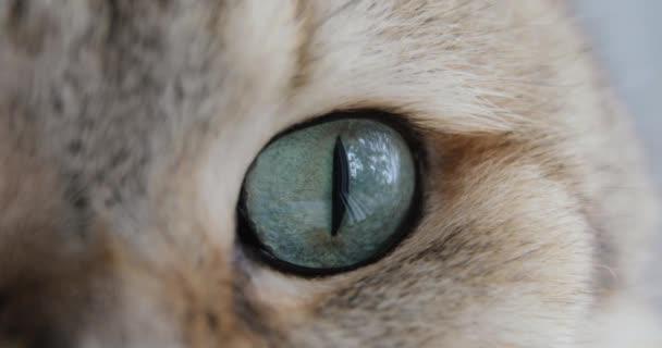 Detail z kočky modré zelené oko. Britská kočka. makro