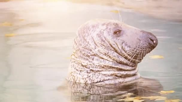 Grey seal (Halichoerus grypus, hooked-nosed sea pig) is found on both shores of North Atlantic Ocean. It is large seal of family Phocidae or true seals.