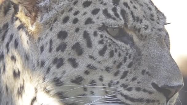 Leopard (Panthera pardus) is one of five species in genus Panthera, member of Felidae. Leopard occurs in a wide range in sub-Saharan Africa and parts of Asia.