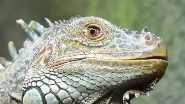 Cinemagraph smyčka: Leguán zelený, také známý jako američtí leguána, je velká, stromových, převážně býložravých druhů ještěrky rodu leguána. To je střední, Jižní Ameriky a Karibiku