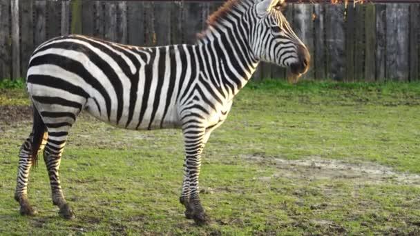Zebra stepní (Equus quagga, dříve Equus burchellii), společný nebo zebra stepní nebo l quagga je nejběžnější a geograficky rozšířený druh zebra