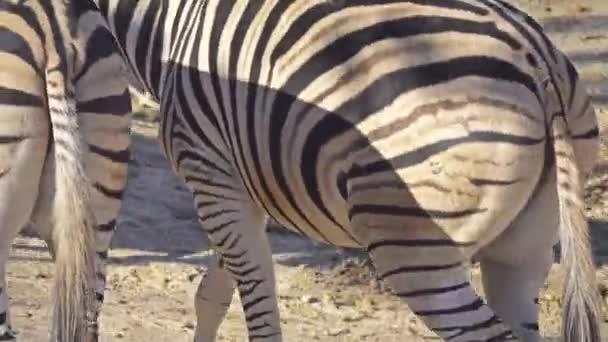 Zebra stepní (Equus quagga, dříve Equus burchellii), společný nebo zebra stepní nebo l quagga je nejběžnější a geograficky rozšířený druh zebra.