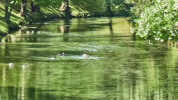 Several ducks and drakes swim along picturesque river in city park.