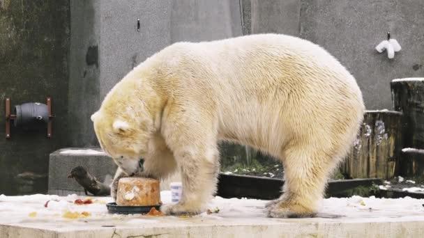 Varšava, Polsko - Decamber 2 2017: lední medvěd (Ursus maritimus) ve Varšavě zoologická zahrada.