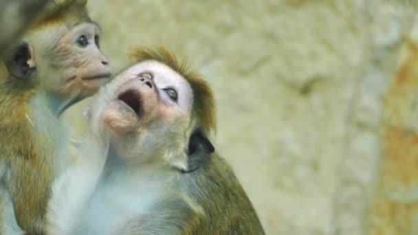 Toque makak (Macaca sinica) je načervenale hnědé barvy opic Statého světa endemická na Srí Lanku, kde to je známé jako rilewa nebo rilawa.