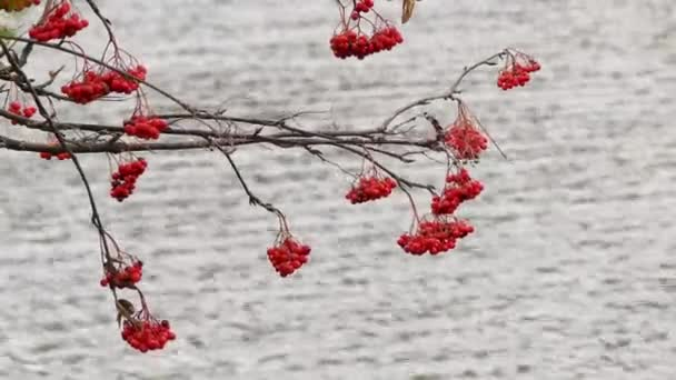 Grapes of red mountain ash during snowfall against backdrop of large lake.