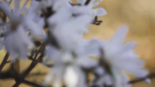 Magnolia stellata, hvězdná magnólie, je pomalu rostoucí keř nebo malý strom původem z Japonska. Na jaře nese velké, okázalé bílé nebo růžové květy.