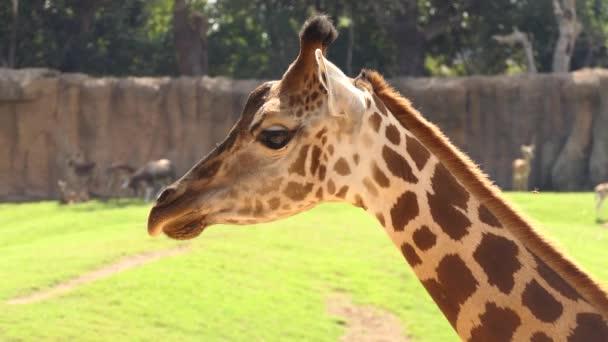 Žirafy Rothschildovy (Giraffa camelopardalis rothschildi) je poddruh žirafy. Je to jeden z nejvíce ohrožených populací odlišné žirafa.
