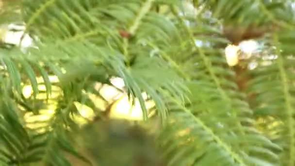Cephalotaxus sinensis, tűlevelű shub, vagy kis fa, szilva tiszafa családban, bennszülött-hoz Kína. Egyes botanikusok tekint Cephalotaxus koreana és sinensis, a Cephalotaxus harringtonii.