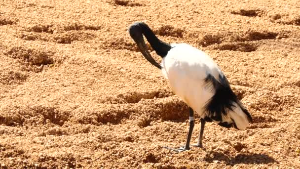 African sacred ibis (Threskiornis aethiopicus) is species of ibis, a wading bird of Threskiornithidae family. It is native to Africa and Middle East. Ancient Egyptians, linked it with god Thoth.