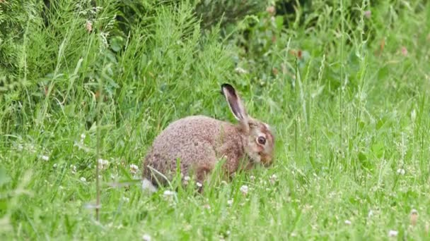 European hare (Lepus europaeus), also known as brown hare, is species of hare native to Europe and parts of Asia. It is among largest hare species and is adapted to temperate, open country.