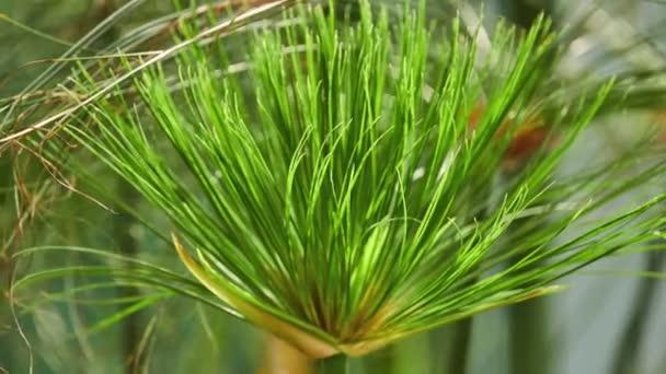 Cyperus papyrus (papyrus sedge, paper reed, Indian matting plant, Nile grass) is species of aquatic flowering plant belonging to sedge family Cyperaceae.