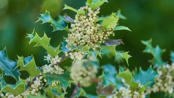 Ilex aquifolium (Gemeine Stechpalme, Englische Stechpalme, Europäische Stechpalme oder gelegentlich Weihnachten) ist in West- und Südeuropa, Nordwestafrika und Südwestasien beheimatet..