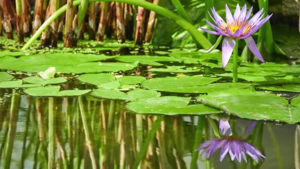 Nymphaea capensis (Cape blue waterlily) je vodní rostliny kvetoucí leknín rodiny Leknínovité. Nativní do Afriky, rostlina se nalézá roste hojně v sladkovodní stanoviště v tropických oblastech.
