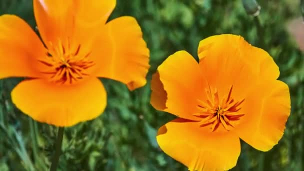 Eschscholzia californica (California poppy, golden poppy, California sunlight, cup of gold) is species of flowering plant in Papaveraceae family, native to United States and Mexico.