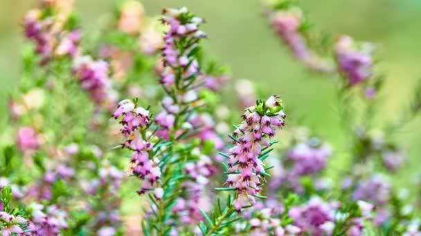 Calluna vulgaris (common heather, ling, or simply heather) is sole species in genus Calluna in flowering plant family Ericaceae.