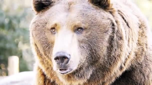 Brown bear (Ursus arctos) is bear that is found across much of northern Eurasia and North America.