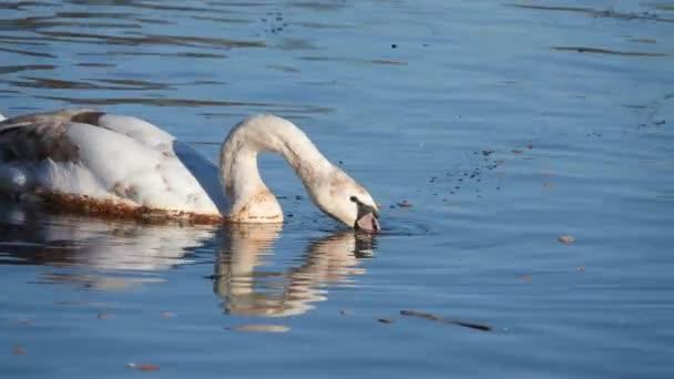 Labutí (Cygnus olor) je labutí a Členská skupina vodních ptáků Anatidae. Je rodný až do velké míry z Eurasie a (jako vzácná zimní návštěvnice), Dálného severu Afriky.