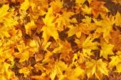 Podzimní listí na slunci. Na podzim rozmazané pozadí