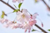Tavaszi szegélye és háttere art-rózsaszín virág.