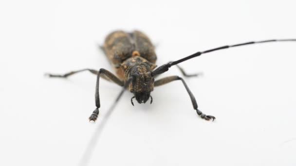 Longhorn beetle or longicorn Cerambycidae isolated on white background