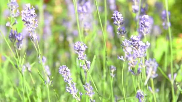Lavendel violette Blumen auf dem Feld bei Sonnenuntergang