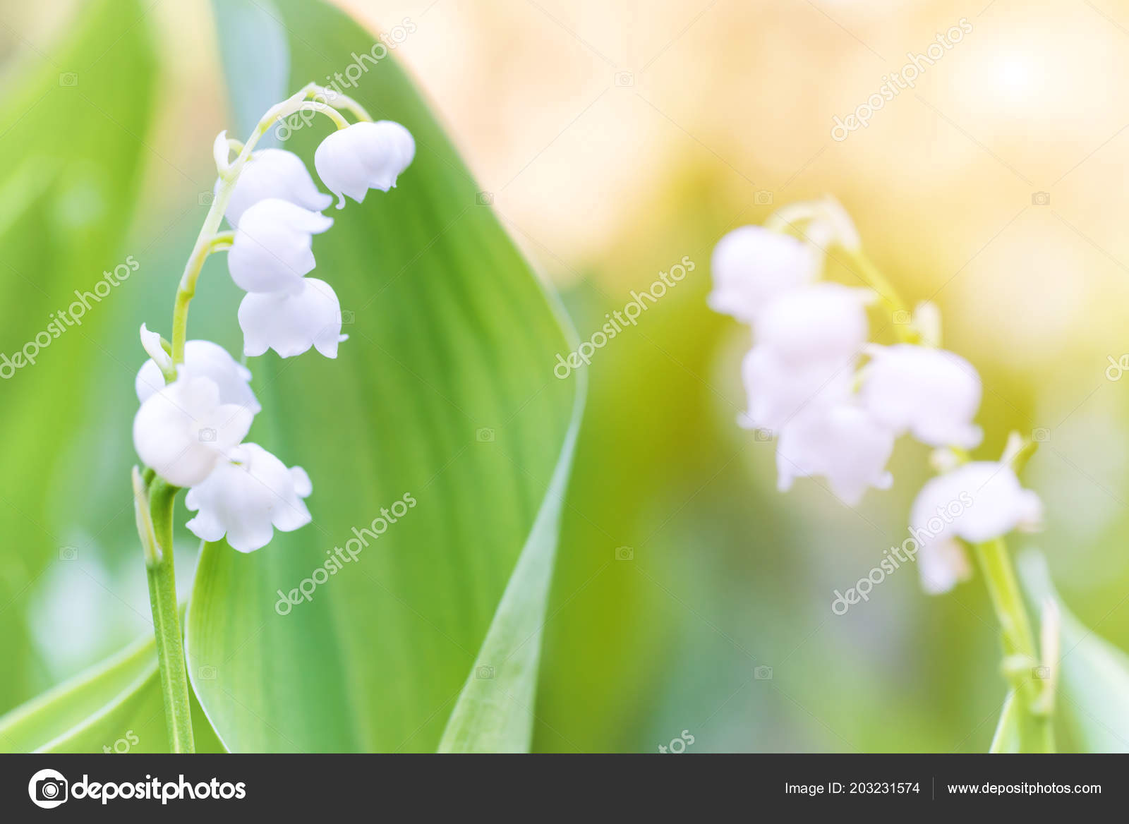 Wild White Flowers Lily Valley Macro Shot Stock Photo Dovapi