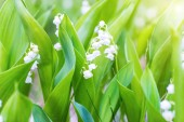 Wild white flowers lily of the valley in the forest, macro close up