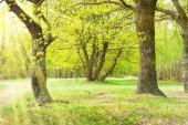 Tölgyfa és a napsütötte gyep fű zöld park