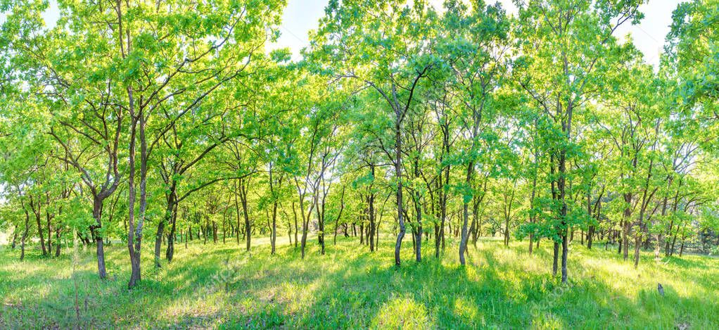 Green forest panorama - panoramic landscape with sunlight shining through trees