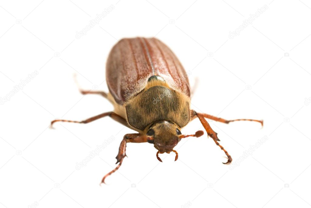 May bug or cockchafer (Melolontha melolontha) isolated on white background - macro shot of big beetle
