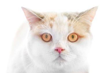 White Scottish Straight purebred cat with big yellow eyes isolated on white background