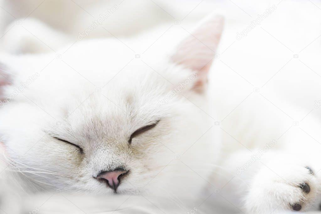 White sleeping Scottish Straight purebred cat on soft white background