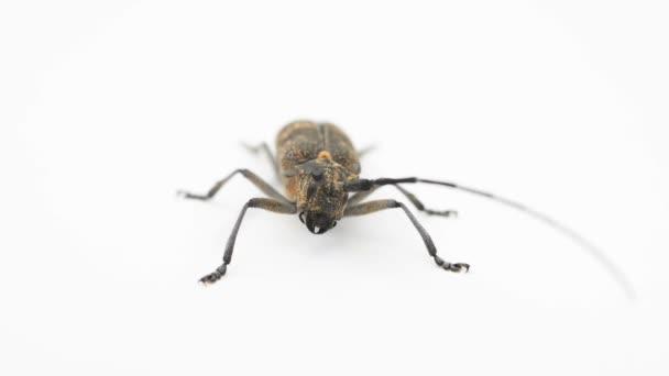Longhorn Beetle oder alpenbocks Cerambycidae isoliert auf weißem Hintergrund