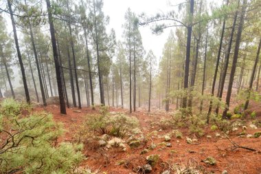 Foggy pine forest at red slopes with stones. Nature lanscape of Canary Island