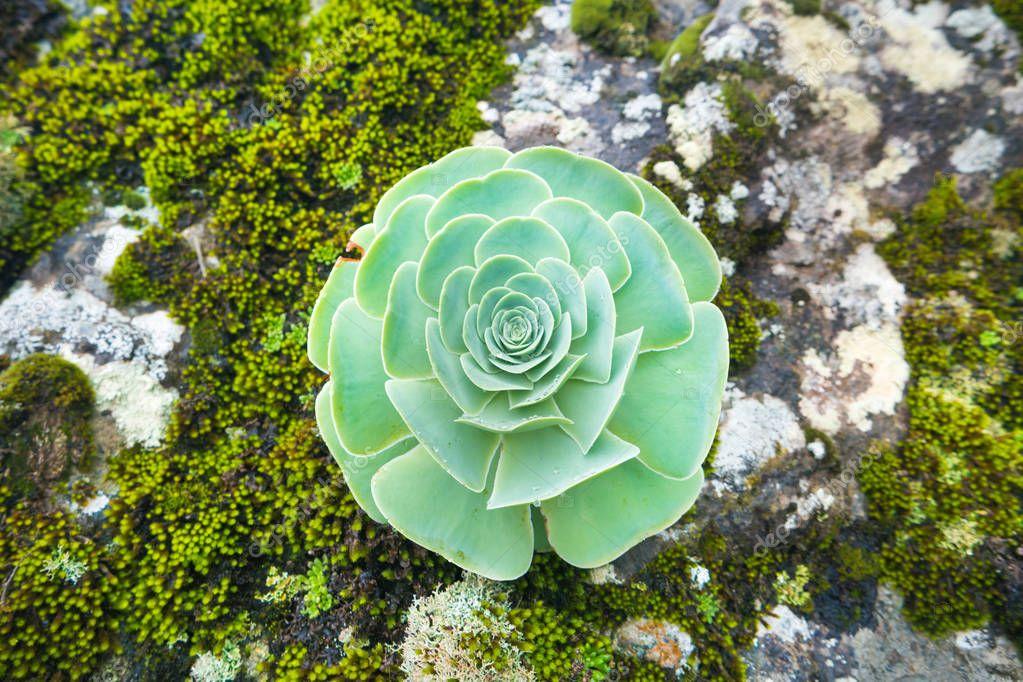Green rosette of succulent Aeonium arboreum endemic plant of Canary Islands. Tree aeonium or houseleek or Irish rose