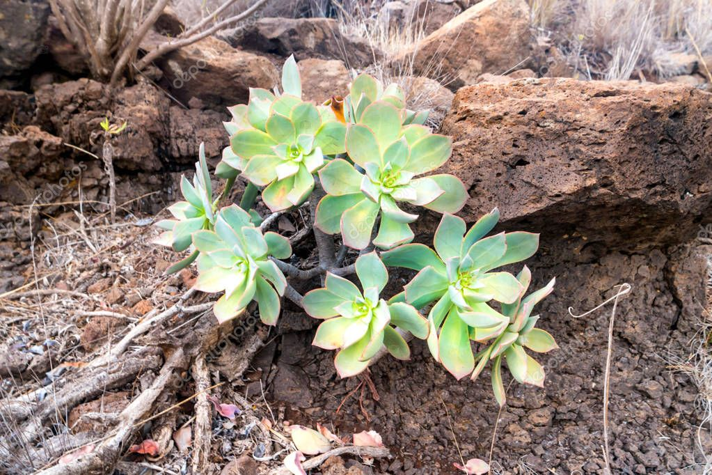Green rosettes of succulent Aeonium arboreum endemic plant of Canary Islands. Tree aeonium or houseleek or Irish rose