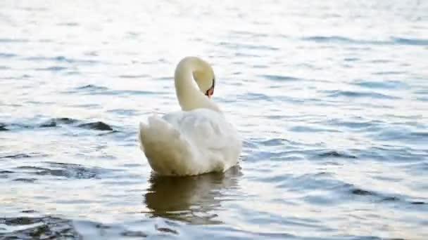 White swan swimming alone on blue lake. Full HD footage