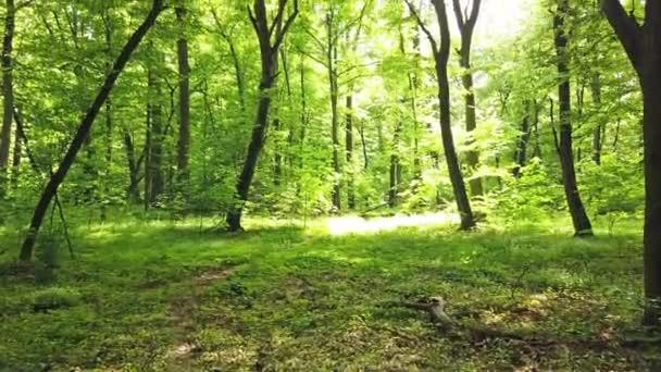 Zöld erdő fákkal és napfénnyel megy keresztül levelek, 4k klip