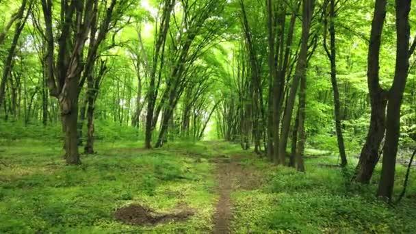 Grüner Wald mit Pfad, Bäumen und Sonnenlicht durch Blätter, 4k Clip