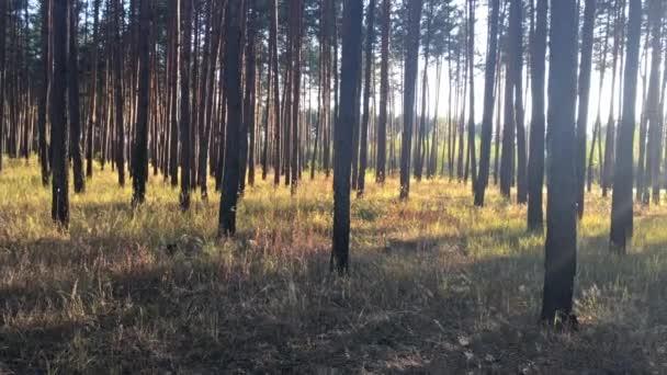 Západ slunce v borovém lese, sluneční svit mezi velkými stromy. Záběry 4K