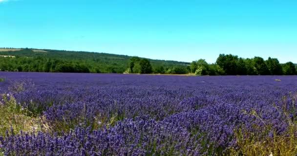 violette Blüten - Lavendel