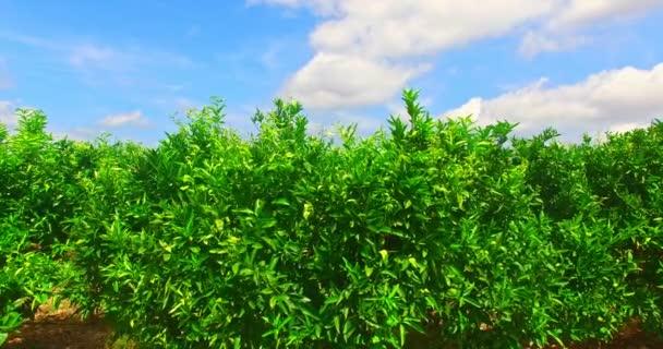 Mandarin trees before harvest
