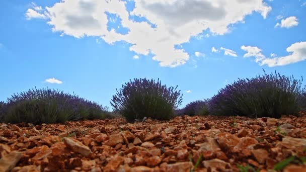 Lavendel-Busch - Zeitraffer