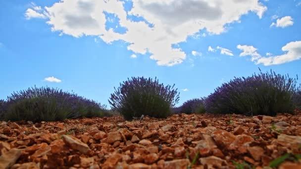 Levandulový bush - timelapse