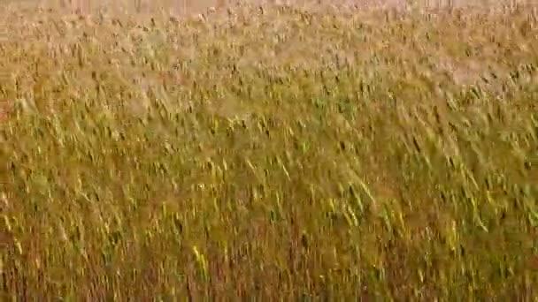 Zlatá zrna pšenice nebo žita